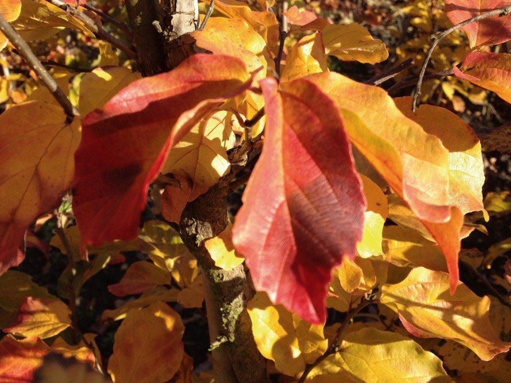 Parrotia persica, Eisenbaum
