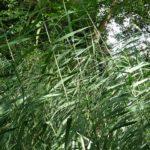 Zwergschilf, Phragmites australis